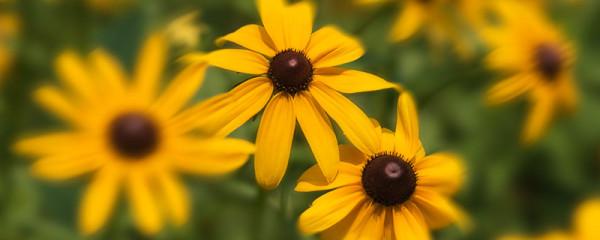 rudbeckia yellow